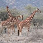 Denmark Apparently Hates All Giraffes Named Marius