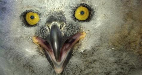 baby owl phoenix