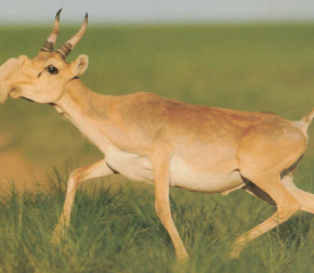 Don't Let The Penis-Faced Saiga Antelope Die From The Sniffles -- WikiHole